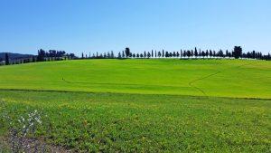 Tuscan scenery in spring wheat fields near Siena