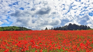 Poppy flowers in Tuscany