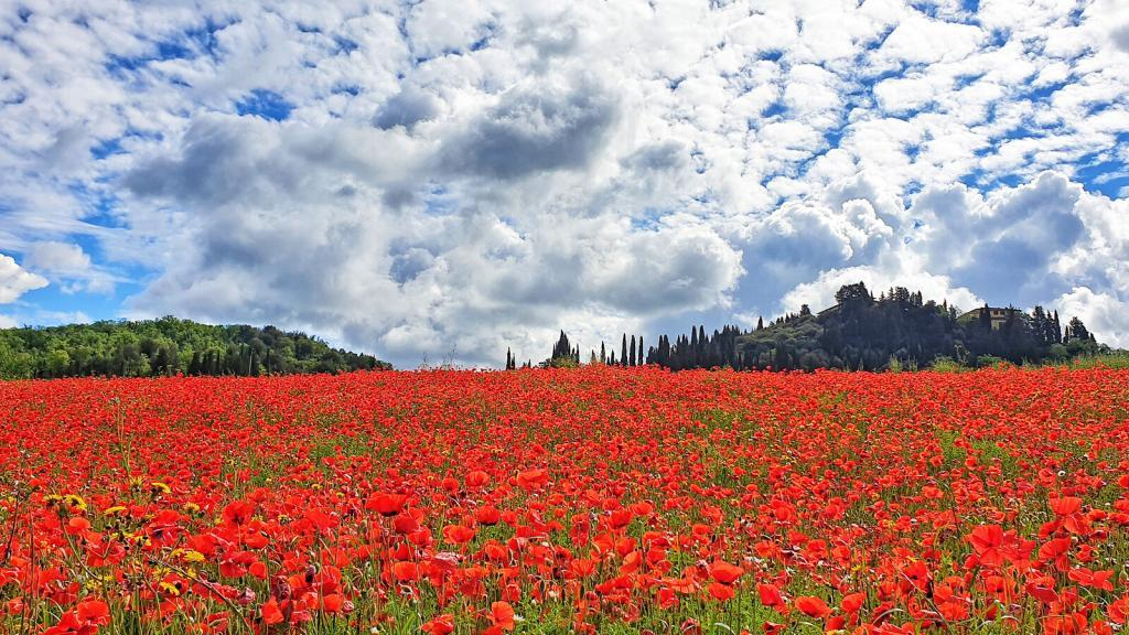 Poppies in Tuscany spring 2019