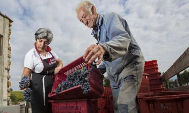 Harvest in Montalcino