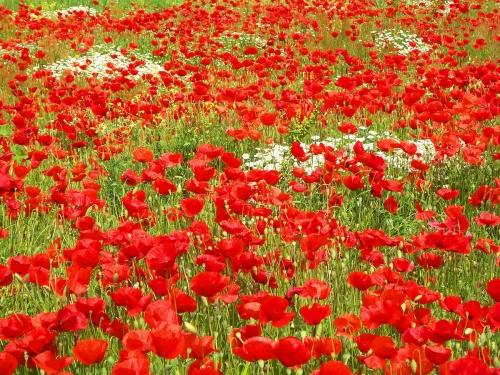 Poppy Field 3p